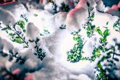 Bush Glows Brightly On Snow Covered Foggy Christmas evening royalty free stock images
