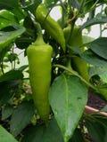 Bush-grüne Paprikas in einem Gewächshaus Lizenzfreies Stockfoto