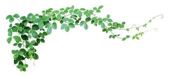 Bush grape or three-leaved wild vine cayratia Cayratia trifolia liana ivy plant bush, nature frame jungle border isolated on