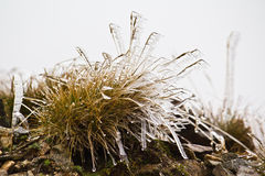Bush of grass. A bush of grass covered with ice Stock Image