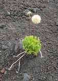 A bush of grass grows among volcanic rocks and ash Royalty Free Stock Images