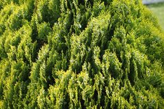 The bush is green beautiful. Garden plant, close-up of a coniferous bush.Spring mood Stock Photos