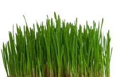 Bush of green grass Royalty Free Stock Photography