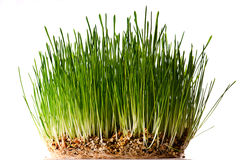 Bush of green grass. Om white background Stock Photography