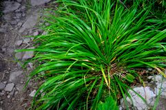 Bush green grass royalty free stock images
