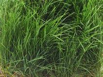 Bush of green grass. Bush of green grass on a white background Stock Photos