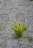 Bush of  green grass and the dry earth. Royalty Free Stock Photography