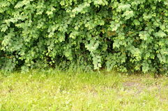 Bush and green grass Royalty Free Stock Images