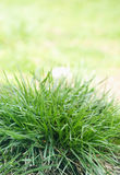 Bush green grass. Bush juicy green grass in the spring, close-up Stock Image