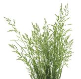 Bush of green grass. Bush of green grass on a white background Royalty Free Stock Photo