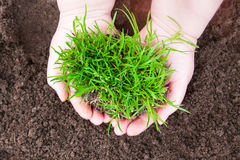 Ecology concept. Bush of green grass in woman hands, ecology concept Royalty Free Stock Photography