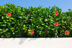 Bush green hedge with red hibiscus. Royalty Free Stock Images