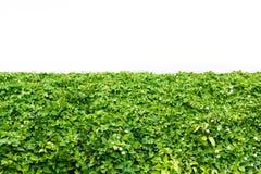 Bush of green leaf. Royalty Free Stock Photo
