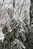 Bush with green leaves covered with frost in a recreation park in the severe frosts Stock Images