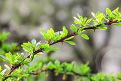 Bush with green leaves. On a gray-white background Royalty Free Stock Images