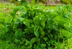 A bush of green leaves of horseradish in the garden in the village royalty free stock image