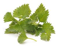 Bush green nettle. On a white background royalty free stock image