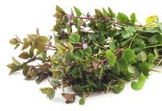 Bush green nettle. Bush green nettle on a white background stock images
