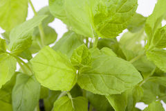 Bush of green peppermint close up Stock Photography