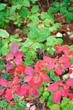 Bush with green and red leaves Royalty Free Stock Image