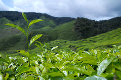 Bush of green tea. Tea leaves with plantation in the background Royalty Free Stock Photography