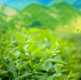 Bush of green tea Royalty Free Stock Image