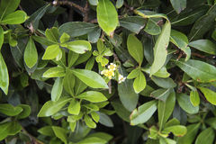 Bush of green tea Royalty Free Stock Photos