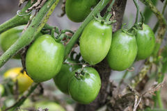 Bush of green tomato in the garden Stock Photos
