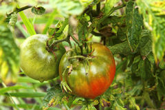 Bush of green tomato in the garden Royalty Free Stock Photography
