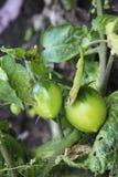 Bush of green tomato in the garden Royalty Free Stock Photos