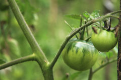 Bush of green tomato in the garden Stock Photography