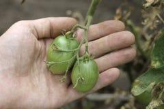 Bush Of Green Tomato In The Garden in man hands Stock Photos