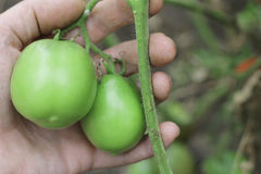 Bush Of Green Tomato In The Garden in man hands. A Bush Of Green Tomato In The Garden in man hands Stock Images