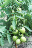Bush with green tomatoes Stock Image