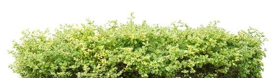 Bush. Green bush on white background Royalty Free Stock Image