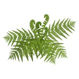 Bush of green wide open leaves of fern vector illustration. Bush of green wide open leaves of fern vector detailed illustration isolated on white in realistic Royalty Free Stock Photo