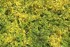 Bush with green and yellow leaves Stock Photography
