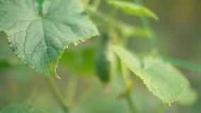 Bush with growing cucumber. Closeup stock footage