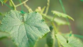 Bush with growing cucumber. Closeup stock video