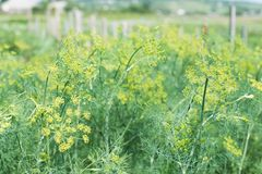 Bush growing dill Stock Photography