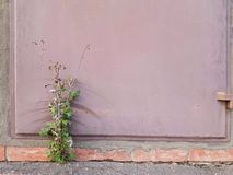The bush grows under the metal door. The bush grows under the metal door in the gap between the asphalt and the door frame royalty free stock photography