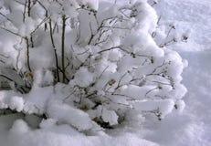 Bush ha coperto di neve fotografia stock libera da diritti