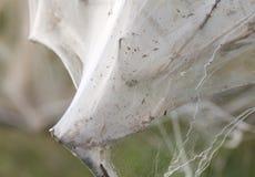 Bush ha coperto nel Web della seta del parassita Immagini Stock