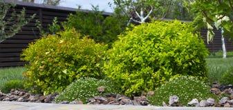 Bush har den japanska spiraeaen trädgården klippt ett dekorativt Arkivfoton