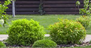 Bush har den japanska spiraeaen trädgården klippt ett dekorativt Fotografering för Bildbyråer