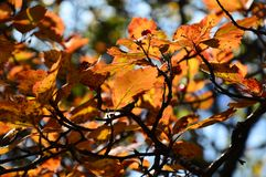 The Bush of hawthorn in autumn. Ripe berries. Yellowed leaves. Royalty Free Stock Photos