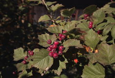The Bush of hawthorn fruit. In September, the hawthorn bushes ripen maroon berry of the hawthorn which has a slightly sweet taste and is very useful for human Royalty Free Stock Photos