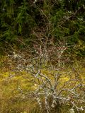 Bush of hawthorn without leaves at the field Stock Photography