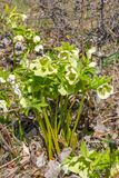 Bush hellebore with yellow flowers royalty free stock image