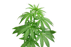 Bush hemp. On a secluded white background Royalty Free Stock Photos